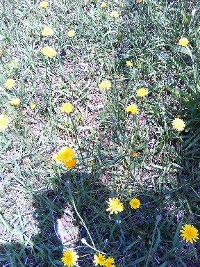 カセンソウのような花