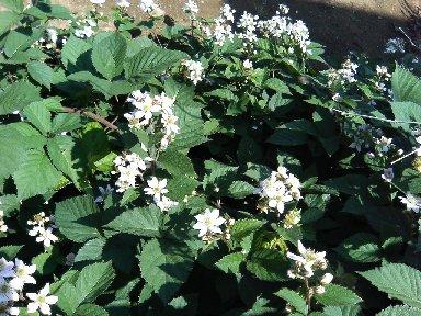 ブラックベリーの花?