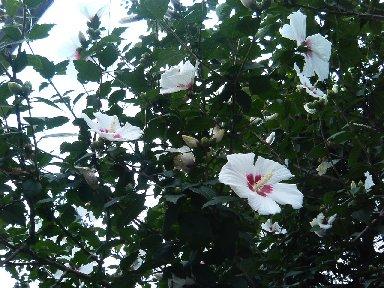 むくげの花