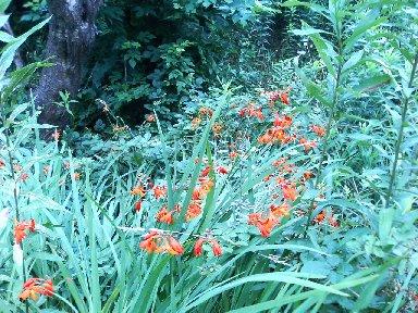 フリージアのような花