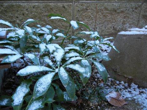 クリスマスローズに雪が積もった