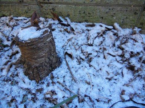 クマガイソウの地面に雪が積もった