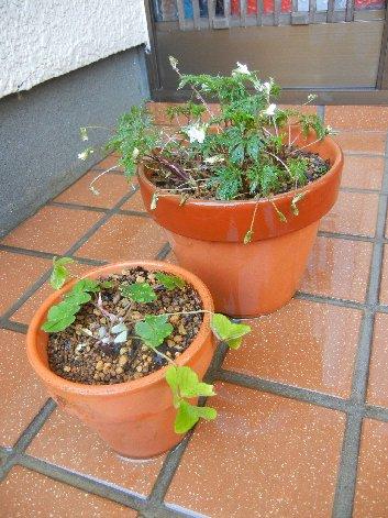 ヒゴスミレ&コミヤマカタバミ培養鉢へ植替え