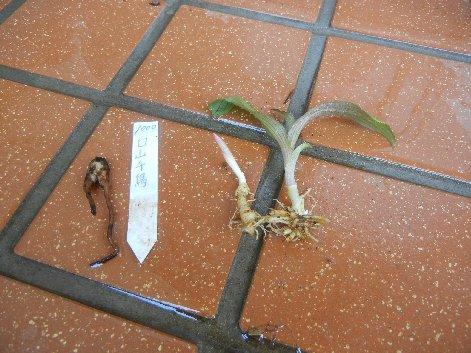 ハクサンチドリとホトトギスの苗