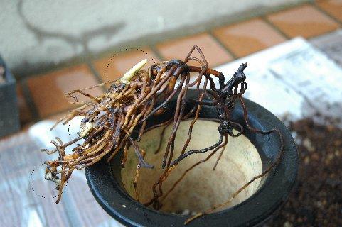 2009.4深鉢植えの根