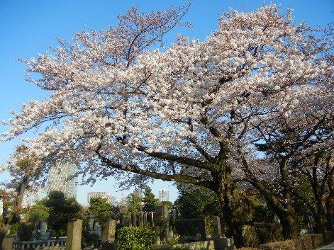 管理事務所前の桜