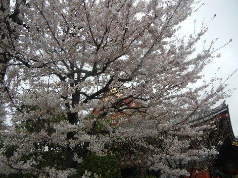 本堂脇の桜