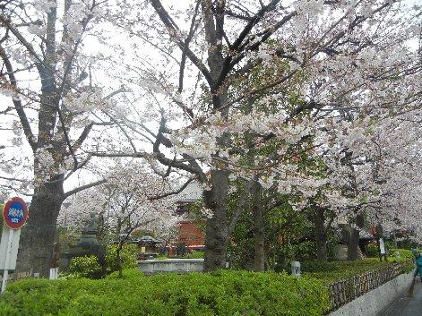 本堂脇の桜2