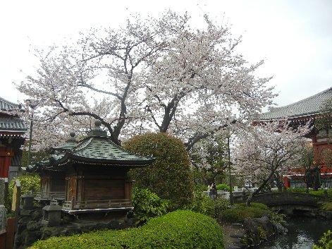 影向堂周辺の桜