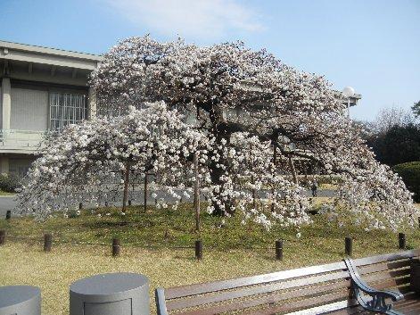 ヨシノシダレ(上野一の名木)