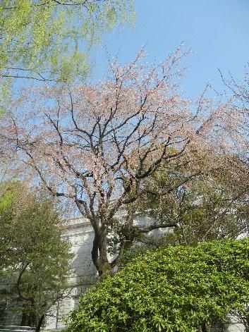 シダレ(大木)