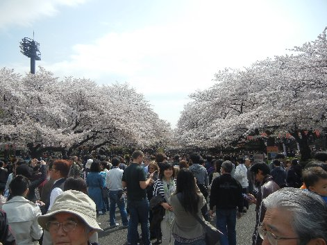 上野公園メイン道路の桜並木