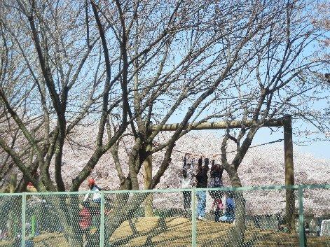 薬園台の桜