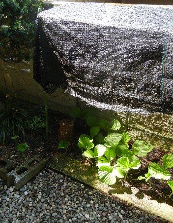 露地植えクマガイソウの遮光