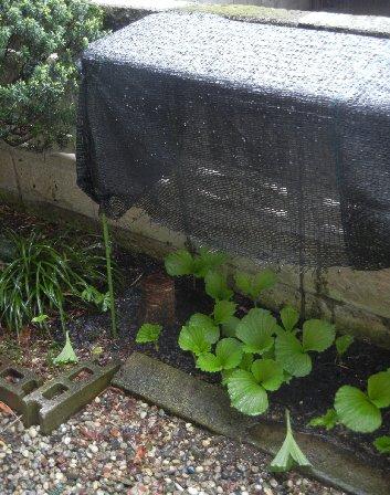 寒冷紗による雨除け効果