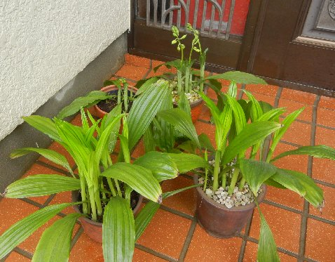 エビネ・種類用土別・花芽比較
