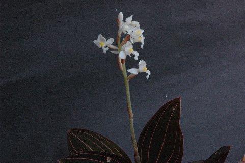 シュスランの花