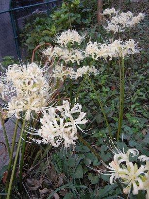 名残り花・白いマンジュシャゲ
