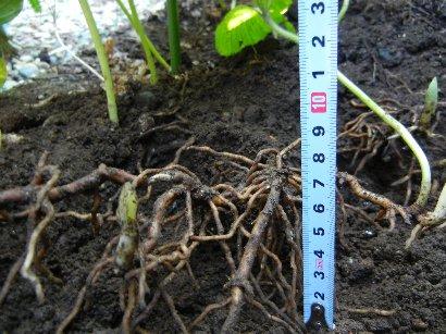 匍匐先端部を剥がして地下茎の観察