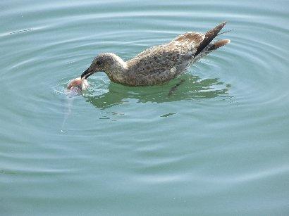 魚を食す水鳥