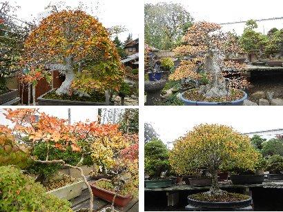 雑木盆栽の紅葉