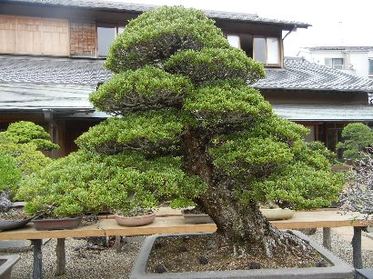 O氏の盆栽-五葉松