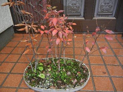 寄せ植えの紅葉