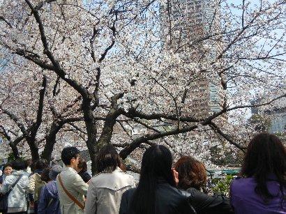 カナルカフェ付近の7分咲きの桜
