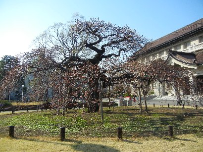 東京国立博物館・本館前のヨシノシダレザクラ
