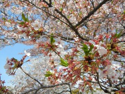 花が散った後のソメイヨシノ