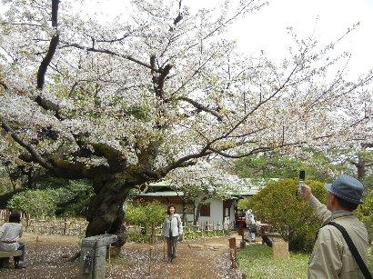 吹上茶屋付近の桜の古木