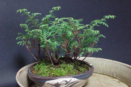 実生ヒノキの寄せ植えの芽だし