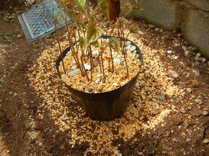 芽が出てしまっていたむかごの保存鉢