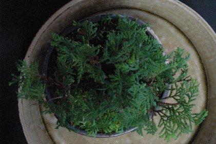 ミニヒノキ寄せ植え・きり戻し&芽摘み後・上から