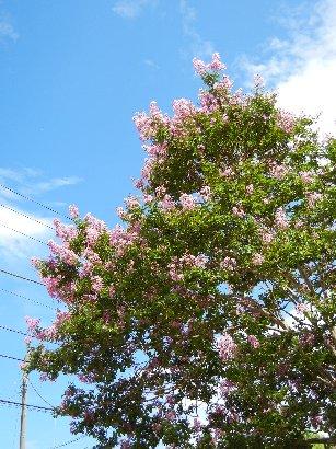 習志野のピンクの花のサルスベリ