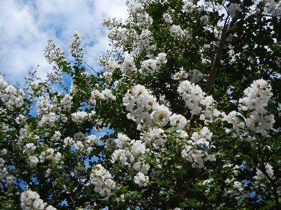 白い花のサルスベリ