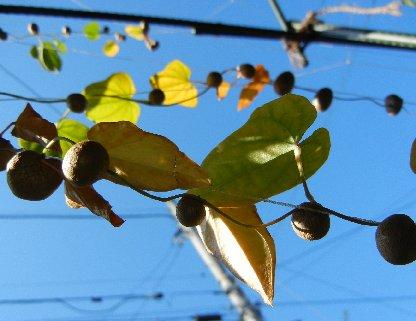 横に張った茎からは、満艦飾のむかご
