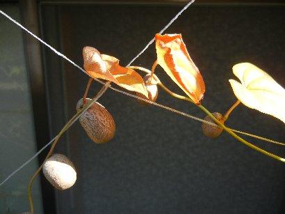 ヤマイモの紅葉