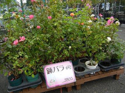 鉢バラ@3,500円