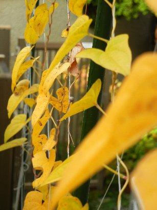 ヤマイモの黄葉