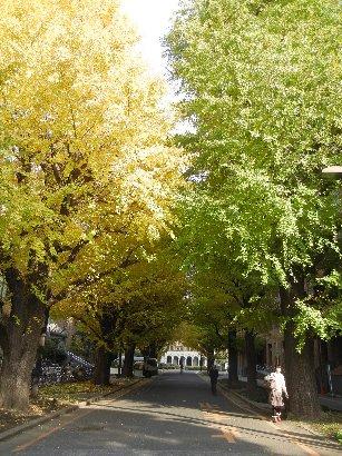 赤門内の銀杏並木