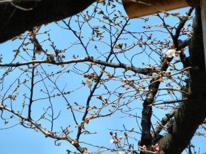 ほころんだ靖国の基準桜