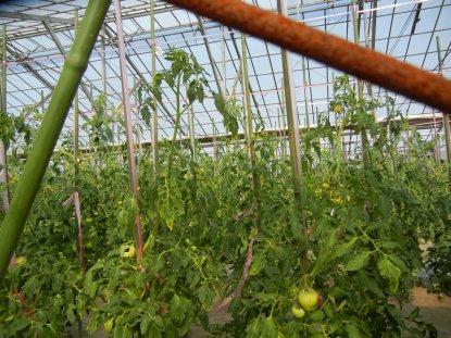 A農園のトマトハウスの中を覗く