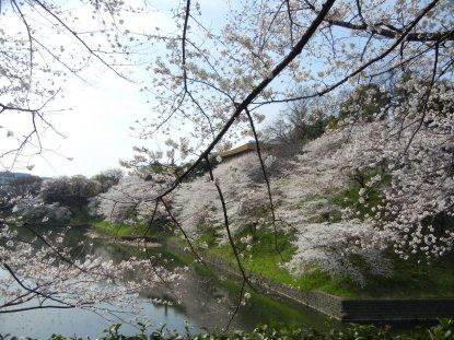 牛ケ淵の桜