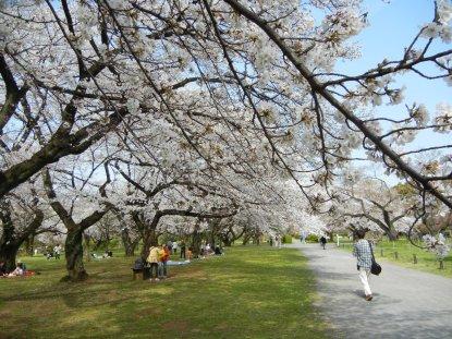 小石川植物園・サクラ林の桜