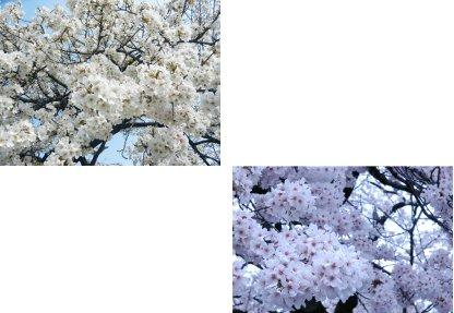 花の塊比較13vs10