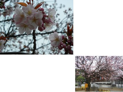 輪王寺・御車返しの桜