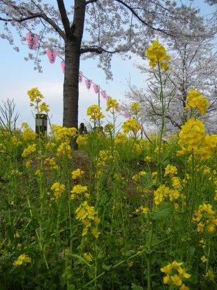 墨提の菜の花と桜