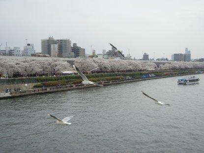 桜橋から見た墨堤