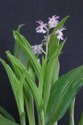 青帝の香の花 2013